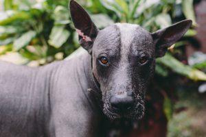 hairless-dog